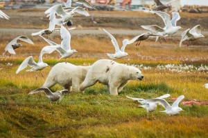 Even in the remote arctic, species such are polar bears are exposed to POPs