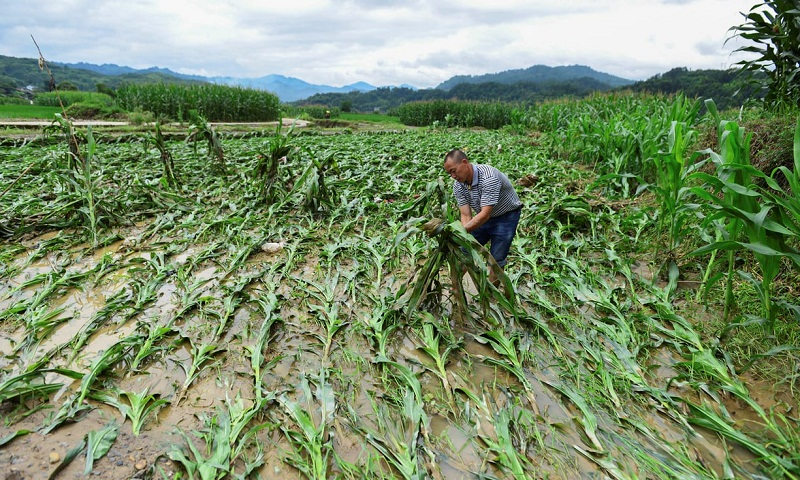 Maize, rice, wheat: alarm at rising climate risk to vital crops