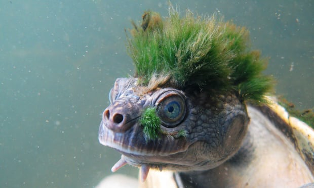 No plan to protect Queensland's green-haired turtle from extinction