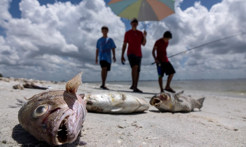 Toxic 'red tide' algae bloom is killing Florida wildlife and menacing tourism