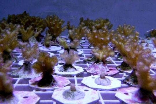 Unique immunity genes in one widespread coral species