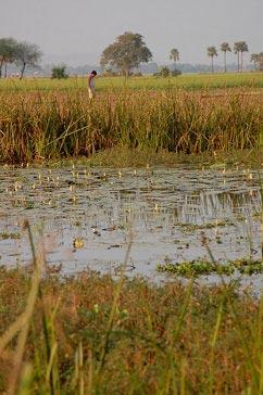 Flood-tolerant rice saves farmers livelihoods