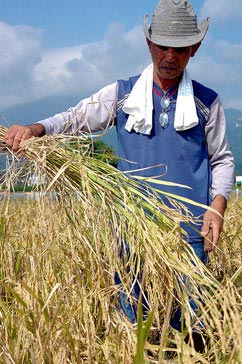 Increasing soil health and productivity of rice crops