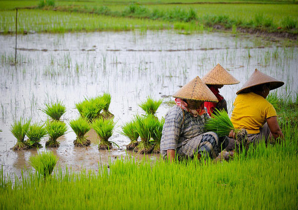 Indonesian farmers earn more thanks to rice breeding