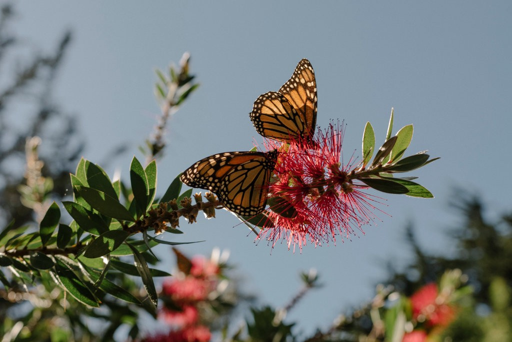 With 86% Drop, California's Monarch Butterfly Population Hits Record Low