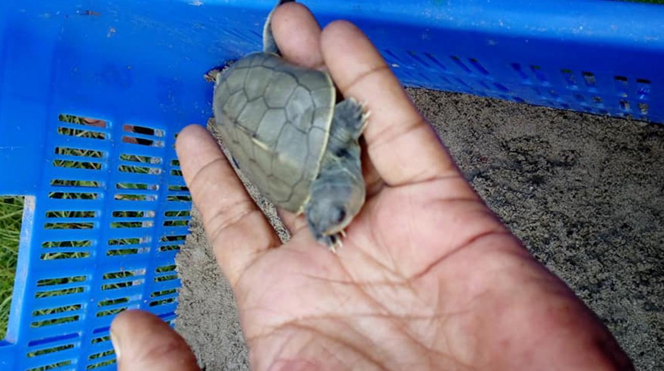 Rare 'Batagur Baska' hatched in Sundarban's Karamjal