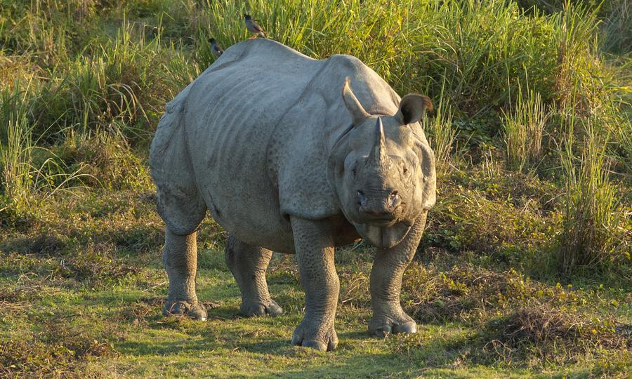 WHO's recognition of Chinese medicines threatens Indian wildlife