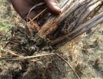 kushtia-paddy-cultivation-3-copy-1575831757703