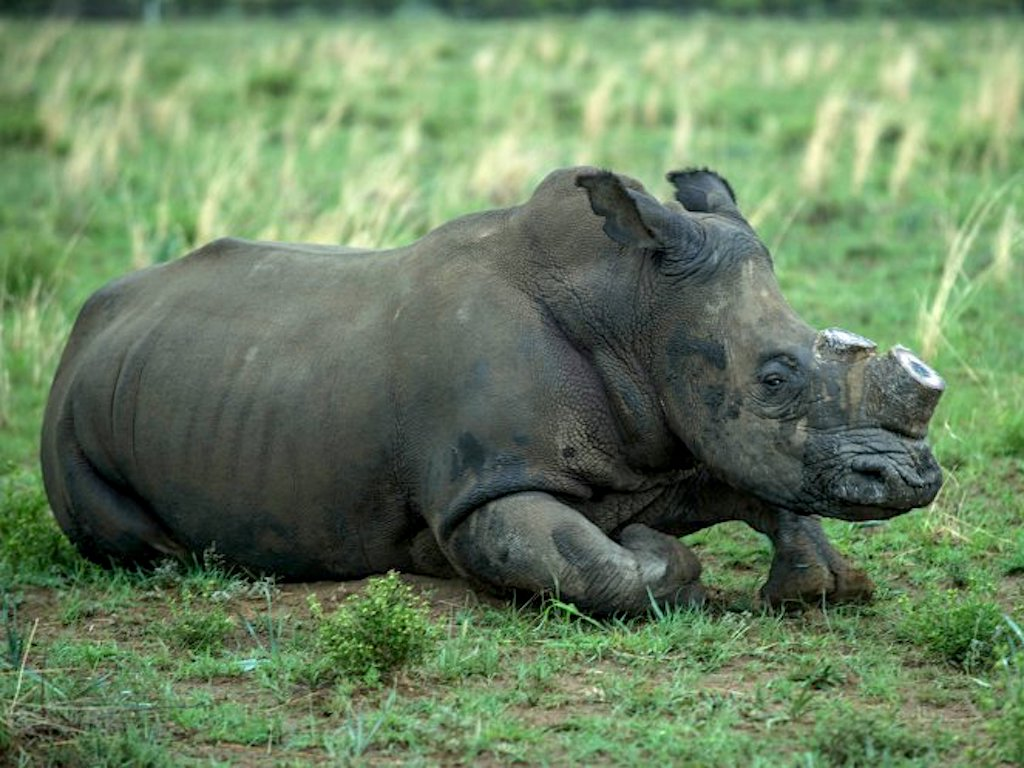 SAFRICA-CONSERVATION-WILDLIFE-RHINO