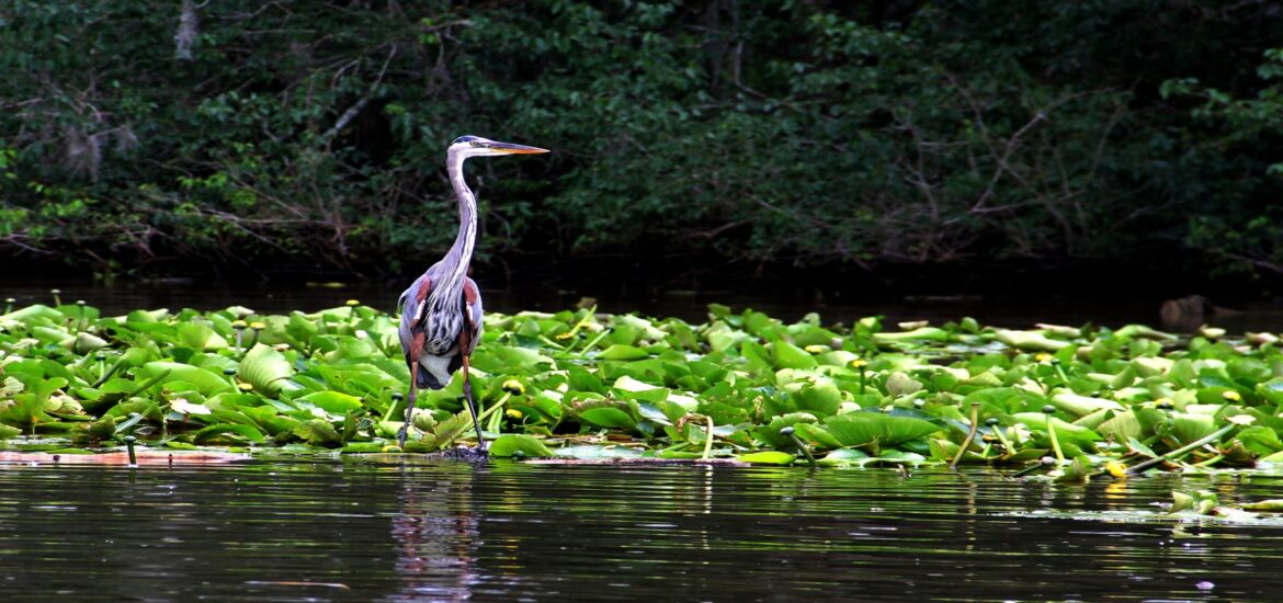 blue_heron_wildlife_crane_gray_blue_louisiana_swamp_lilies-1121108-3c24sn33qhfpoede404tts