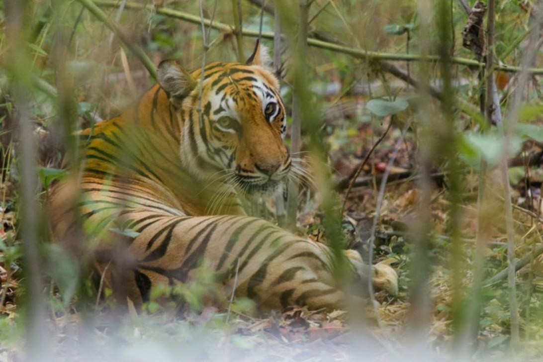 elusive-bengal-tiger