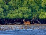 sundarbans-spotted-deer-271120-04