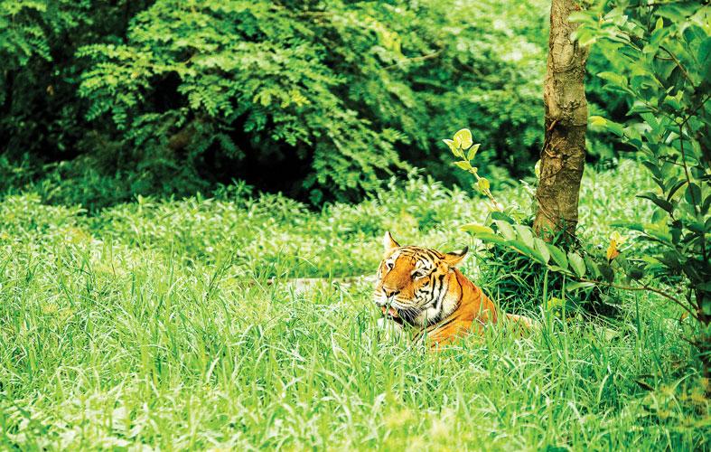 Bengal Tiger at Dhaka Zoo in Mirpur. Syed Zakir Hossain/Dhaka Tribune
