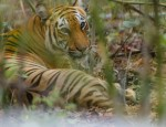 bengal-tiger-spotted-sundarbans