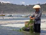 seaweed-farming-at-nusa-lembongan-bali-photo-jean-marie-hullot-1-1620459669722 (1)