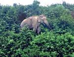 elephnat